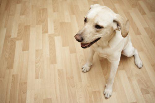 Yellow labrador retriever is sitting on the floor