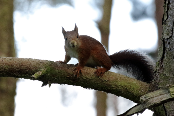 Squirrel in Formby Pine Woods